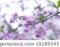 cherry blossom, cherry tree, freshness 10289345