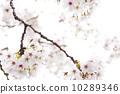 cherry blossom, cherry tree, bloom 10289346