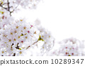 cherry blossom, cherry tree, copy-space 10289347