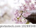 cherry blossom, weeping cherry, weeping cherry tree 10289348