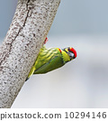 Coppersmith Barbet 10294146