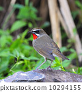 Siberian Rubythroat 10294155