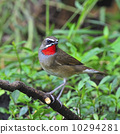 Siberian Rubythroat 10294281