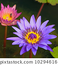 waterlily 10294616