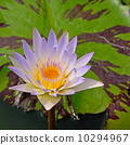 waterlily 10294967
