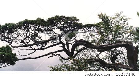 中國湖北神農架---龍松 10297146