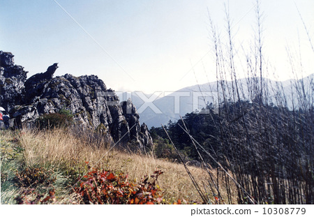 中國湖北神農架---板壁岩景區---荒漠箭竹 10308779