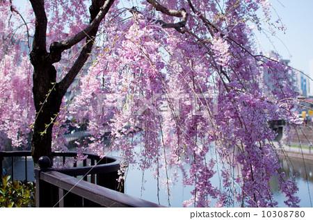 櫻花沿河1 10308780