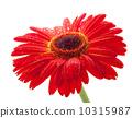 Red gerbera flower 10315987