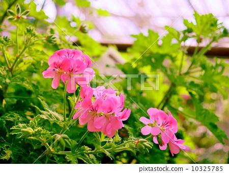 스위트 미모사 제라늄 꽃말 : 결의 Pelargonium 'Sweet Mimosa' 10325785