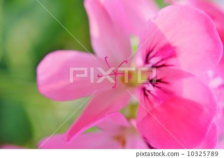 스위트 미모사 제라늄 꽃말 : 결의 Pelargonium 'Sweet Mimosa' 10325789