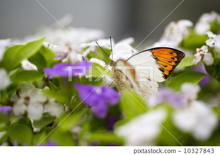 花叢中的蝴蝶 10327843