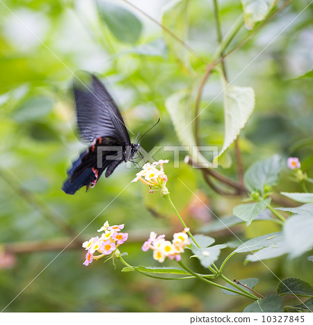 美麗的蝴蝶 10327845