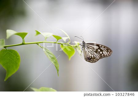 美丽的蝴蝶 10327846