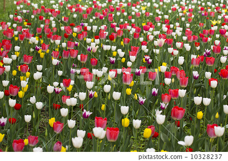 Tulip ocean 10328237