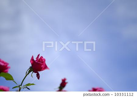 玫瑰 玫瑰花 玫瑰的 10331112