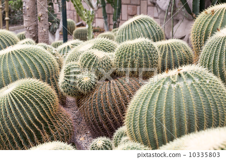 Prickly pear 10335803