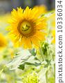 ทานตะวันดอกไม้ฤดูร้อน (ยิ้ม) 10336034