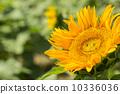 ทานตะวันดอกไม้ฤดูร้อน (ยิ้ม) 10336036