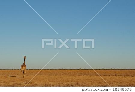 站立在草甸的长颈鹿 10349679
