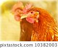 chick, bird, bio 10382003