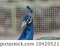 动物 孔雀 鸟儿 10420521