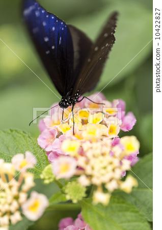 美麗的蝴蝶 10422827