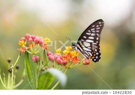 美麗的蝴蝶 10422830