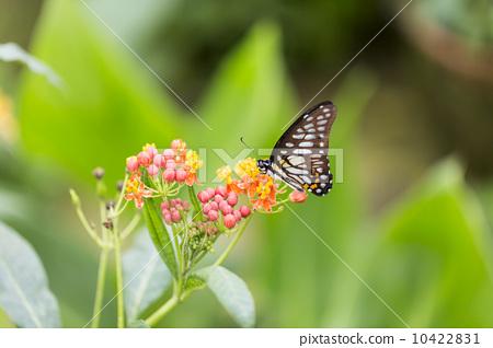 美麗的蝴蝶 10422831