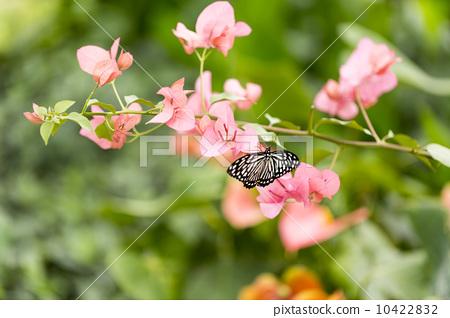 蝴蝶在花叢中 10422832