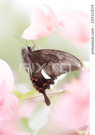 美麗的蝴蝶 10422834