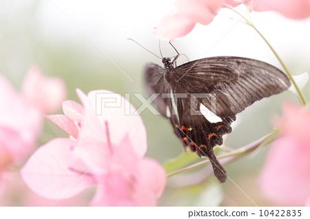 美丽的蝴蝶 10422835