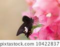 美麗的蝴蝶 10422837