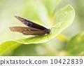 休息中的蝴蝶 10422839
