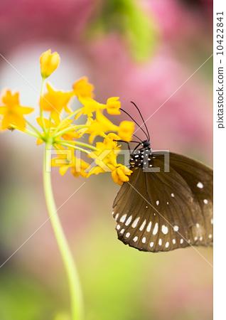 美麗的蝴蝶 10422841