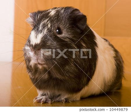 guinea pig 10449879