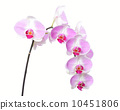 Orchid flower 10451806