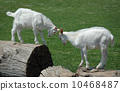 Two baby goats 10468487