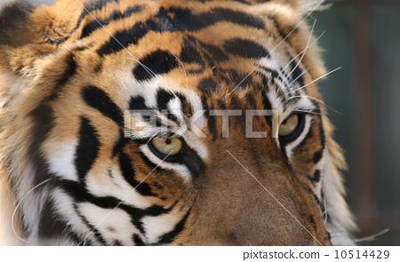 Sumatran tiger 10514429