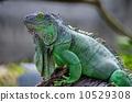 outdoor, green, iguana 10529308