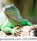 animal, creature, lizard 10529906