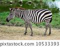 旅行 動物 斑馬 10533393