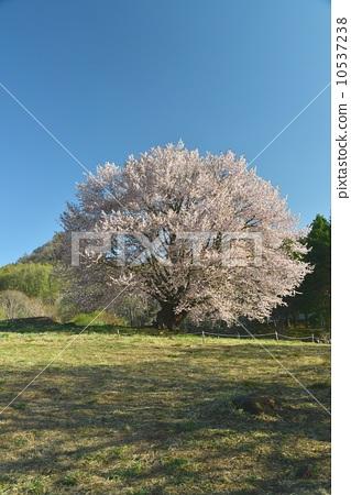 가타시나 촌의 천왕 벚꽃 10537238