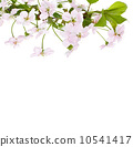 apple pink flowers branch on a white background 10541417