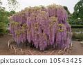 紫藤 10543425