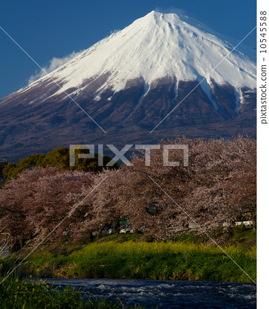 Fuji and cherry blossoms (part 2) 10545588