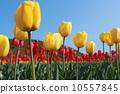 Tulip 10557845