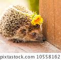 哺乳动物 宠物 刺猬 10558162