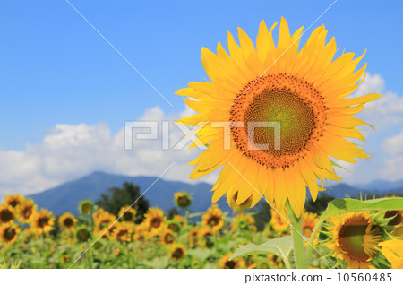 Sunflower field 10560485