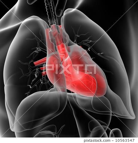 human heart 10563547